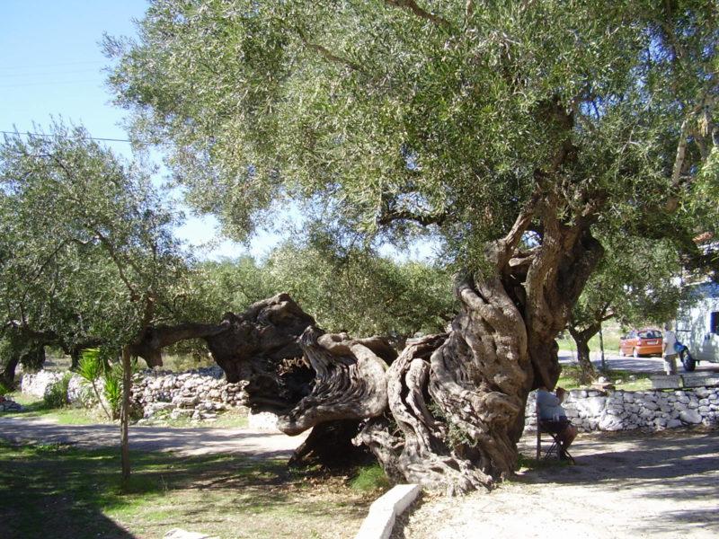 Olivy: Symbolické plody Athénina daru – do mýdla, na pizzu i silvestrovské kanapky